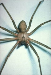 A Crash Course on How to Get Rid of Brown Recluse Spiders ebook by Enzo Jones