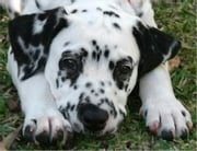 A Beginners Guide to Dalmatians ebook by Paul Gronke