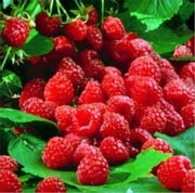A Crash Course on How to Grow Raspberries ebook by Billy Thompson