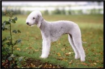 Bedlington Terriers for Beginners ebook by Rich Bean