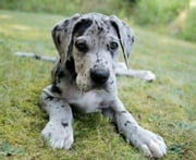 Great Dane Training for Beginners ebook by Tom Paunovic