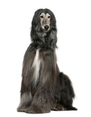 A Beginners Guide to Afghan Hounds ebook by Jack Penn