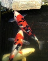 Starting and Maintaining a Koi Pond: A Guide For Beginners ebook by Kim Walker