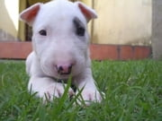 Bull Terrier Training for Beginners ebook by Julia Lawston